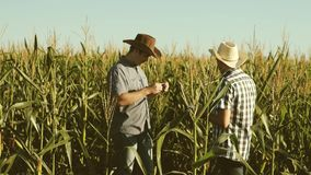 A farmer and an agronomist inspect a flowering field and corn cobs. The concept of agricultural business. Businessman. Farmer and an agronomist inspect a stock video footage