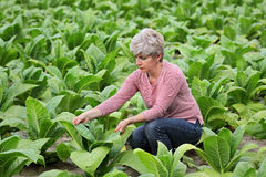 Farmer or agronomist inspect tobacco field Stock Photos