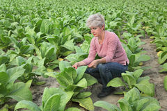 Farmer or agronomist inspect tobacco field Royalty Free Stock Photography