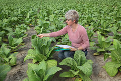 Farmer or agronomist inspect tobacco field Stock Image
