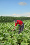 Farmer or agronomist inspect tobacco field Stock Photography