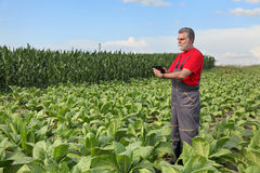 Farmer or agronomist inspect tobacco field Royalty Free Stock Photos