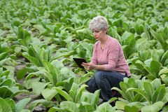 Farmer or agronomist inspect tobacco field Stock Images