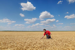 Farmer or agronomist inspect wheat field Royalty Free Stock Photography