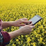 Farmer or agronomist inspecting blossoming rapeseed field. Agronomist or farmer examine blossoming canola field, using tablet Stock Images