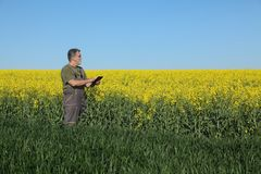 Agriculture, farmer examining wheat and rapeseed plants in field Stock Photography