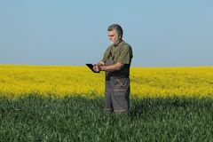 Agriculture, farmer examining wheat field with rapeseed plants i Stock Image