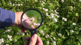 Farmer agronomist looking at buckwheat with magnifying glass stock video footage