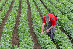 Farmer or agronomist in soy bean field examine plant Royalty Free Stock Image
