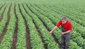 Farmer or agronomist in soy bean field pointing Royalty Free Stock Images