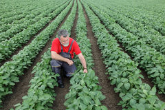 Farmer or agronomist in soy field Royalty Free Stock Photo