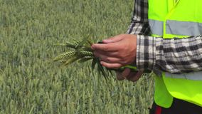 Farmer agronomist touching cereals. In summer day stock footage