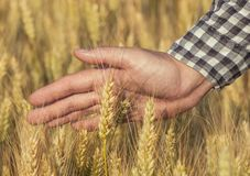 Farmer agronomist on the wheat field touches the golden spikelet. Grain harvest in summer Royalty Free Stock Images