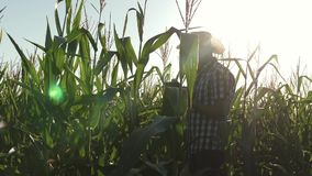A farmer, an agronomist working in the field, inspect ripening corn cobs. A business man from a tablet checks corn cobs. Concept of agricultural business stock footage