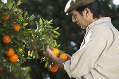 Farmer Analyzing Oranges In Farm Stock Image