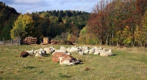 Farmer animals sunbathing in the autumn sun Royalty Free Stock Photography