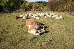 Farmer animals sunbathing in the autumn sun Royalty Free Stock Photos