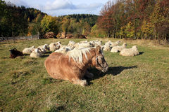 Farmer animals sunbathing in the autumn sun Royalty Free Stock Photo