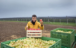 Farmer with apples in crates in orchard Stock Image
