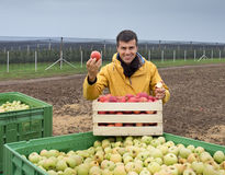 Farmer with apples in crates in orchard Stock Photography