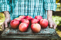 Farmer with apples. Organic fruit. Farmers hands with freshly harvested fruit. Fresh organic apples Royalty Free Stock Photography