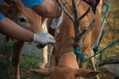 Farmer apply vaccination Foot and mouth disease cow. To cattle stock photo