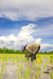 Farmer. Asian women at work in a rice plantation Stock Image