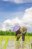 Farmer. Asian women at work in a rice plantation Stock Photography