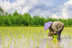 Farmer. Asian women at work in a rice plantation Royalty Free Stock Photo