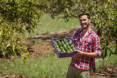 Farmer with avocados Stock Photography
