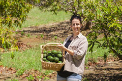 Farmer with avocados Stock Photos