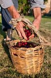 Farmer with basket of cherries Royalty Free Stock Image