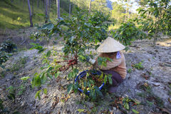 Farmer with a basket harvesting red coffee been at coffee plantation Royalty Free Stock Photos