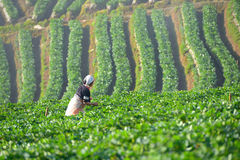 Farmer and beautiful strawberry farm in the morning royalty free stock photo