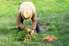 Farmer and bio carrots. Fresh food Royalty Free Stock Photo