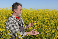 Farmer in blossoming canola, oil seed field Royalty Free Stock Photo