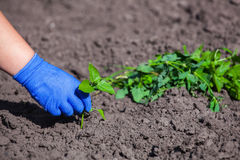 The farmer in blue gloves and cleans hands weeds from the soil. stock photo