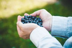 Farmer with Blueberries Royalty Free Stock Images