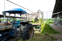 Farmer bring Grass for cows Stock Photo