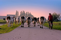 Farmer brings back his cows to the stable at sunset in the Netherlands Stock Photos