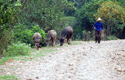 Farmer and buffallos. Famer walking with buffalo  in rural China Royalty Free Stock Photo