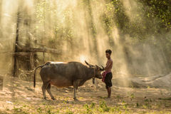 Farmer and buffalo. With amazing light backgruond Royalty Free Stock Photography