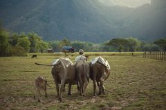 The farmer and buffaloes go home together life stock photography