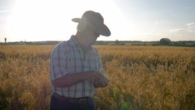 Farmer businessman in cowboy hat on the field checks the ripening of grain crops stock video footage