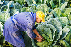 Farmer cabbage Royalty Free Stock Image