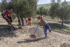 Farmer during the campaign of olive in a field of olive trees, f Royalty Free Stock Photos