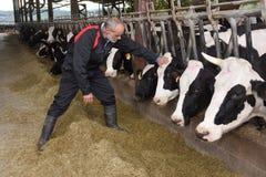 Farmer caressing a cow. In a farm of cows royalty free stock photos