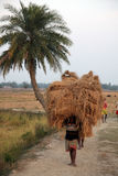Farmer carries rice from the farm home Stock Images