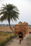 Farmer carries rice from the farm home Stock Photography