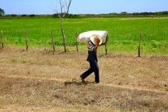 Farmer Carrying Bundle of Rice, Cuba Stock Images